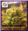 Cream of the Crop Auto Black Gold Fem 10 Seeds